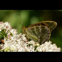 argynnis_paphia__kaisermantel_266.jpg (Artengalerie)