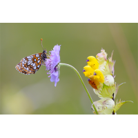 melitaea_diamina_s_166.jpg (Artengalerie)
