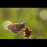 coenonympha_pamphilus__wiesenvoegelchen_990.jpg (Artengalerie)