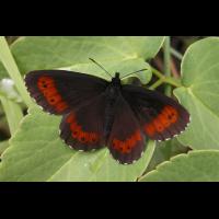 erebia_euryale_607.jpg (Artengalerie)
