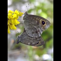 lasiommata_maera_190.jpg (Artengalerie)