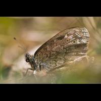 img_9289_lasiommata_petropolitana_158.jpg (Artengalerie)