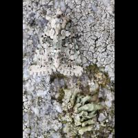 flechteneule_5848_113.jpg (Artengalerie)