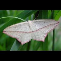 ampferspanner_639.jpg (Artengalerie)