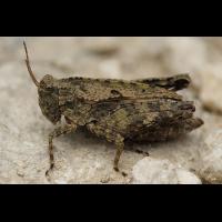 Tetrix_tenuicornis_Weib_web_2.jpg (Artengalerie)
