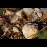 oedipoda_caerulescens__blaufluegelige_oedlandschrecke__larve_193.jpg (Artengalerie)