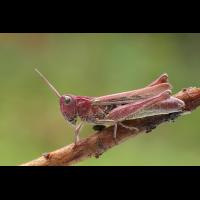 chorthippus_biguttulus_8134__168.jpg (Artengalerie)