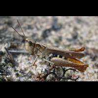 chorthippus_vagans_188.jpg (Artengalerie)