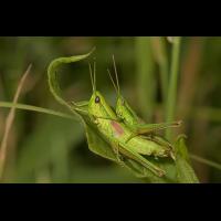 euthystira_brachyptera__kleine_goldschrecke__paarung_177.jpg (Artengalerie)