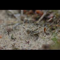 Myrmeleotettix_maculatus_-_Gefleckte_Keulenschrecke_-_Larve_-_Weibchen.jpg (Artengalerie)