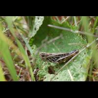 Stenobothrus_nigromaculatus_-_Schwarzfleckiger_Grashüpfer_-_Weibchen01.jpg (Artengalerie)