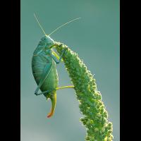 polysarcus_denticauda__wanstschrecke__weibchen_2_130.jpg (Artengalerie)
