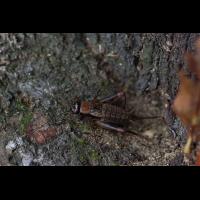 Nemobius-sylvestris---Waldgrille---Weibchen01.jpg (Artengalerie)