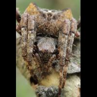 Araneus_angulatus_Araneidae_Spinnen_1.jpg (Artengalerie)
