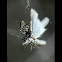 spinne0611_325.jpg (Artengalerie)
