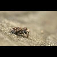 sitticus_rupicola_w854_983.jpg (Artengalerie)