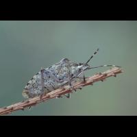 raphigaster_nebulosa__graue_feldwanze2_120.jpg (Artengalerie)