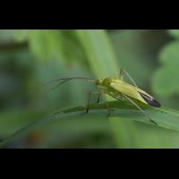 calocoris_affinis_205.jpg (Artengalerie)