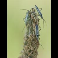 leptopterna_dolabrata_dolchwanzen_119.jpg (Artengalerie)