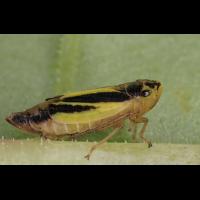 evacanthus_zikade1397_114.jpg (Artengalerie)