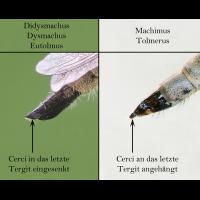 Vergleich_Genitalien_Dysmachus_-_Machimus.jpg (Artengalerie)
