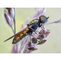 waffenfliege_chloromyia_formosa_10dbc3f8_3c78_4da4_aa67_99416b6d4107_105.jpg (Artengalerie)