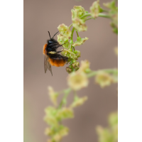 wildbiene_osmia_cornuta_124.jpg (Artengalerie)
