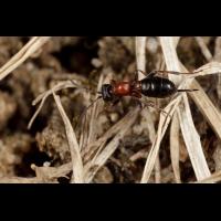 Gelis_Ichneumonidae_Benjamin.jpg (Artengalerie)