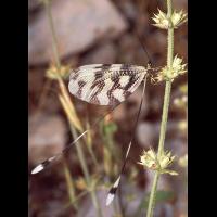 Nemoptera_sinuata_Nestos_03~0.jpg (Artengalerie)