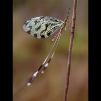 nemoptera_coa_582.jpg (Artengalerie)