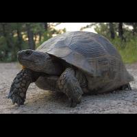 Maurische_Landschildkröte.jpg (Artengalerie)
