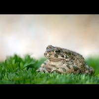 frosch2f_117.jpg (Artengalerie)