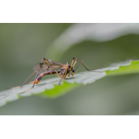 IMG_3902_Faltenmücke Ptychoptera contaminata-.jpg (Artengalerie)