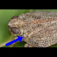 Issus-coleoptratus-merkm.jpg (Artengalerie)