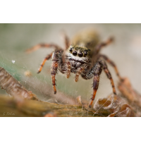 Dendryphantes hastatus2 (1 von 1).JPG (Artengalerie)