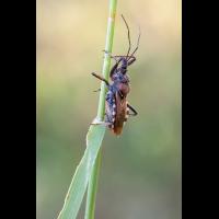Rhynocoris erythropus 01.jpg (Artengalerie)