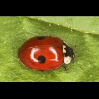 Adalia bipunctata 1.jpg (Artengalerie)