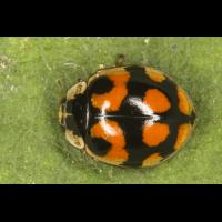 Adalia decempunctata 1.jpg (Artengalerie)