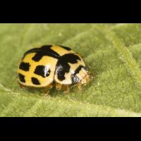 Propylea quatuordecimpunctata 2.jpg (Artengalerie)