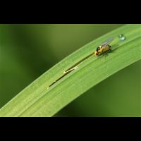 Liriomyza02makro.jpg (Artengalerie)