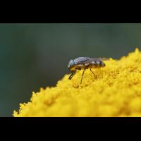 fliege_29.jpg (Artengalerie)