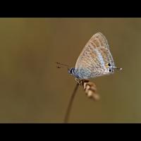 Lampides-boeticus2-zogg93274_6---Kopie.jpg (Artengalerie)
