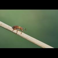 Zitterpappel-Kätzchenrüssler.jpg (Artengalerie)
