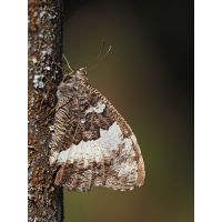 Brintesia-circe1-zogg79076_6---Kopie.jpg (Artengalerie)
