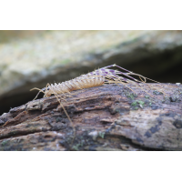 Scutigera coleoptera Spinnenläufer 03.jpg (Artengalerie)