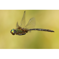 Somatochlora arctica_m_flug_IMG_3162_1200.jpg (Artengalerie)
