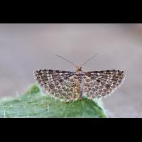 Alucita-hexadactyla--zoog65045_11---Kopie.jpg (Artengalerie)