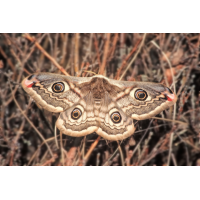 Kleines Nachtpfauenauge Weibchen 0405T2 .jpg (Artengalerie)