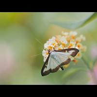 Cydalima-perspectalis-zogg08157_15---Kopie.jpg (Artengalerie)