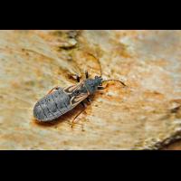 Ischnodemus-sabuleti-neu.jpg (Artengalerie)